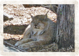 lynx - Pocatello Zoo