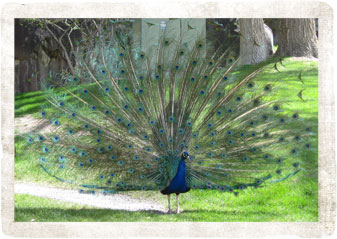 Peacock - Pocatello Zoo